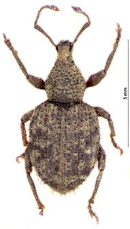 Otiorhynchus scaber (Linnaeus, 1758)