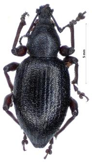Otiorhynchus tenebricosus (J.F.W. Herbst, 1784)