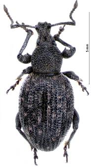 Otiorhynchus tristis (I.A. Scopoli, 1763)