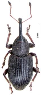 Notaris acridulus (Linnaeus, 1758)