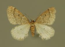 Theria rupicapraria (Denis & Schiffermüller, 1775)