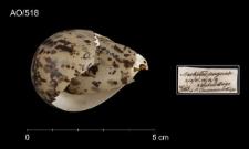 Calidris pugnax