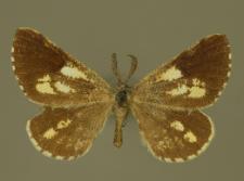 Bupalus piniaria (Linnaeus, 1758)