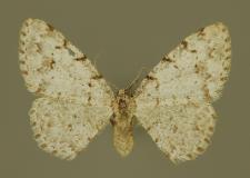 Aethalura punctulata (Denis & Schiffermüller, 1775)