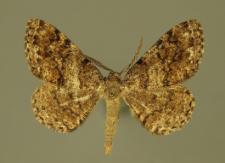 Deileptenia ribeata (Clerck, 1759)