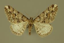 Agriopis leucophaearia (Denis & Schiffermüller, 1775)