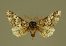 Biston strataria (Hufnagel, 1767)
