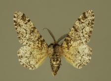 Biston betularia (Linnaeus, 1758)