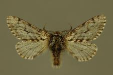 Lycia pomonaria (Hübner, 1790)