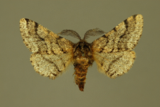 Lycia hirtaria (Clerck, 1759)
