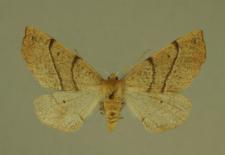 Colotois pennaria (Linnaeus, 1761)