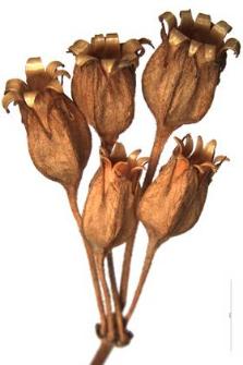 Primula elatior (L.) Grufb. var. Tatrae