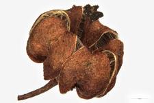 Pirola minor L.