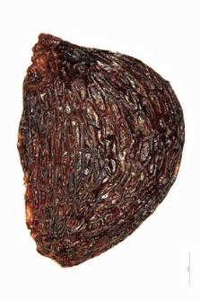 Oxycoccus quadripetala Gilib.
