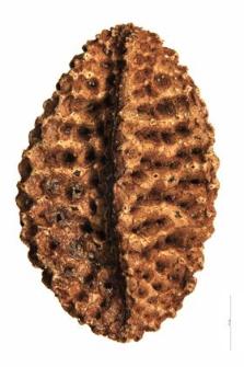 Phacelia tanacaetifolia Benth.
