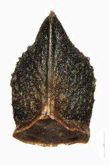 Echium rubrum