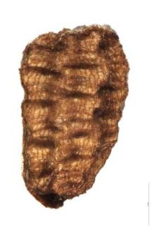 Verbascum thapsus L.
