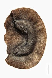 Linaria odora Chavan