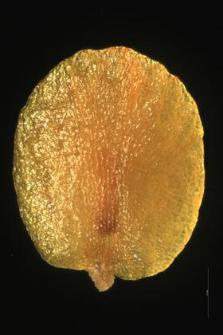 Veronica latifolia L.