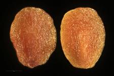 Veronica alpina L.