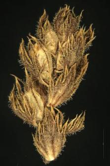 Euphrasia Rostkoviana Hayne.