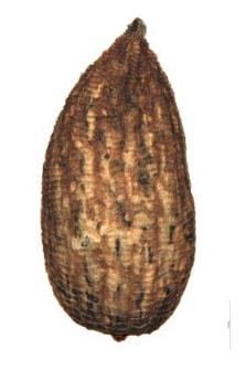 Odontites lutea Rchb.