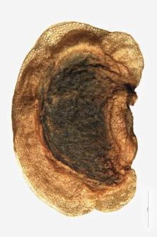 Rhinanthus alpinus var. elatus