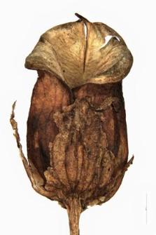 Pedicularis palustris L.