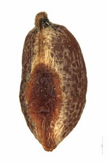 Pedicularis silvatica L.