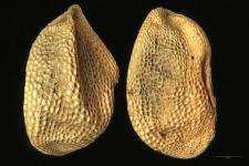 Pedicularis Hacquetii Graf.