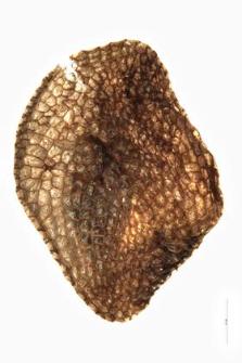 Pedicularis sceptrum-Carolinum L.