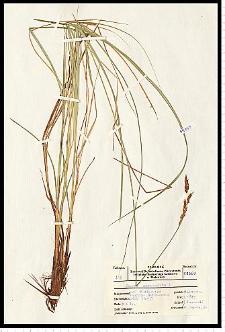Carex paniculata L.