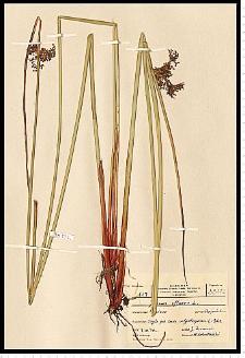 Juncus effusus L.