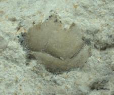 Tanidromites insignis