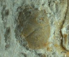 Tanidromites alexandrae