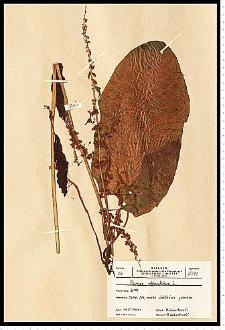 Rumex obtusifolius L.