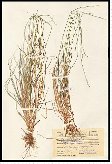 Carex loliacea L.