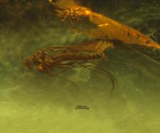 Diptera (Sciaroidea)