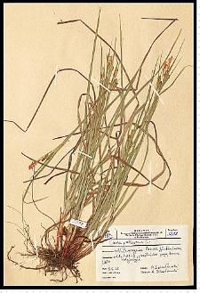 Carex pallescens L.
