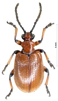 Lilioceris merdigera (Linnaeus, 1758)