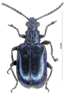 Lema cyanella (Linnaeus, 1758)