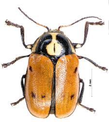 Cryptocephalus octopunctatus (I.A. Scopoli, 1763)