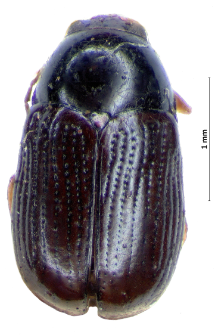Cryptocephalus labiatus (Linnaeus, 1760)