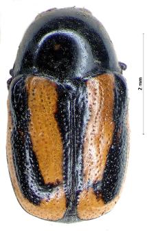 Cryptocephalus vittatus Fabricius, 1775