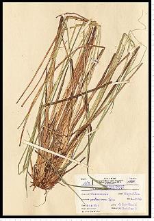 Carex elata All.