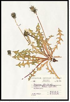 Taraxacum officinale F. H. Wigg.