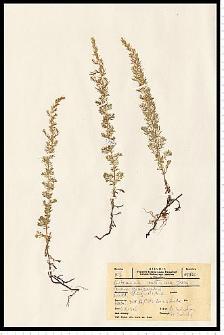Artemisia austriaca Jacq.