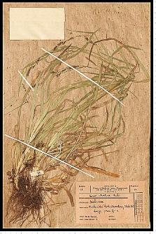 Carex sylvatica Huds.