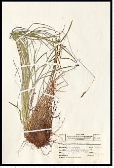Carex umbrosa Host
