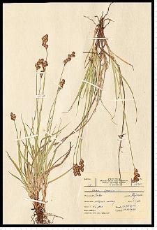 Carex leporina L.